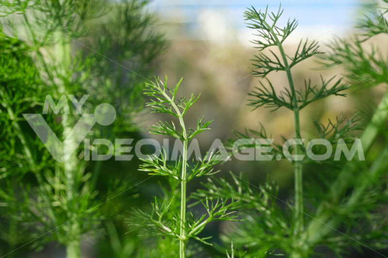 Wild fennel. Edible aromatic plant with fragrant leaves. Stock foto royalty free - LEphotoart.com