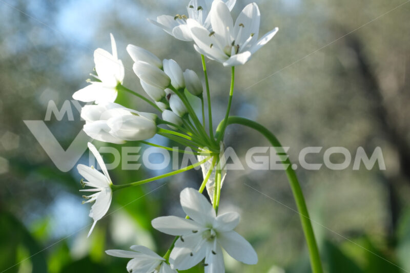 Wild garlic flower blossom, white color. Macro photography of the petals of the spring bloom. - MyVideoimage.com