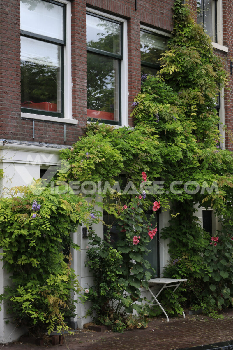 Wisteria climbing plant. Wisteria climbing plant on the brick facade of a house. Red flowers. Amsterdam. - MyVideoimage.com | Foto stock & Video footage