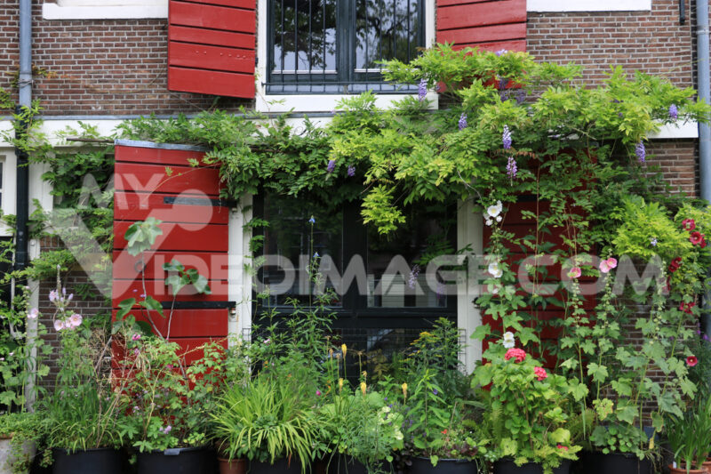 Wisteria climbing. Wisteria climbing plant on the brick facade of a house. Red flow - MyVideoimage.com | Foto stock & Video footage