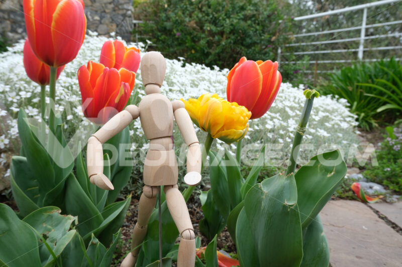 Wooden mannequin in the midst of spring flowers. Garden with orange tulips and rotating model. - MyVideoimage.com
