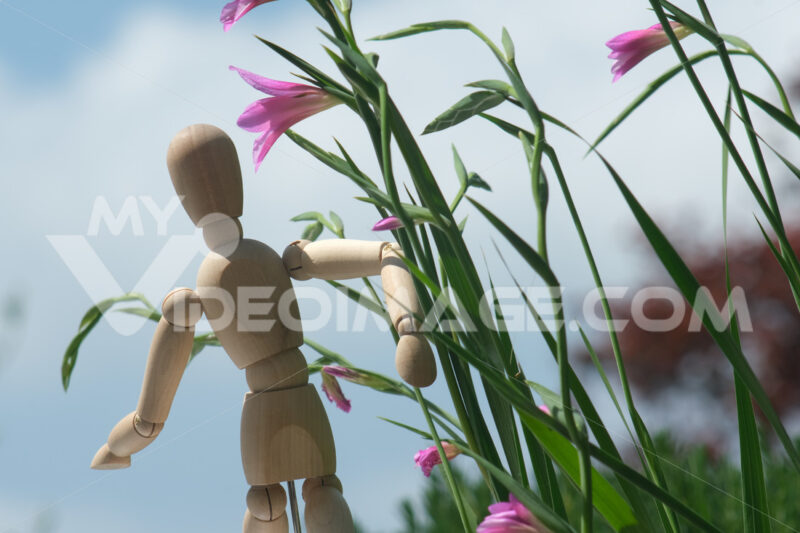 Wooden mannequin with pink wild gladiolus flowers. A Mediterranean garden with Gladiolus italicus bulbs blooming in spring with the sky background. - MyVideoimage.com