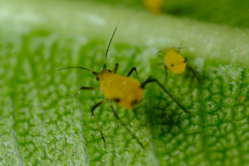 Yellow aphid on a leaf suck the sap of the plant. - MyVideoimage.com   Foto stock & Video footage