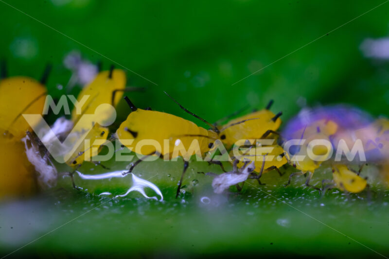 Yellow aphids. Yellow aphids on a leaf suck the sap of the plant. Stock photos. - MyVideoimage.com   Foto stock & Video footage