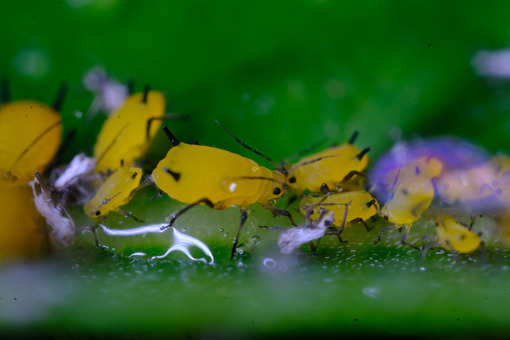 Yellow aphids. Yellow aphids on a leaf suck the sap of the plant. Stock photos. - MyVideoimage.com | Foto stock & Video footage