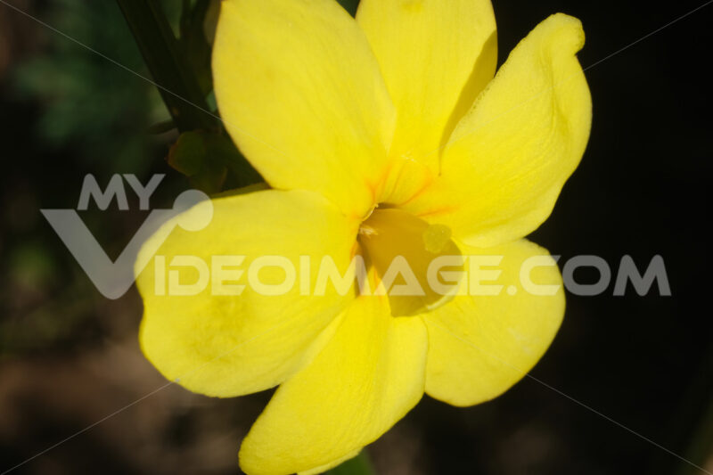 Yellow flower of winter jasmine. Macro photography of the petals of the winter flowering. Climbing. - MyVideoimage.com