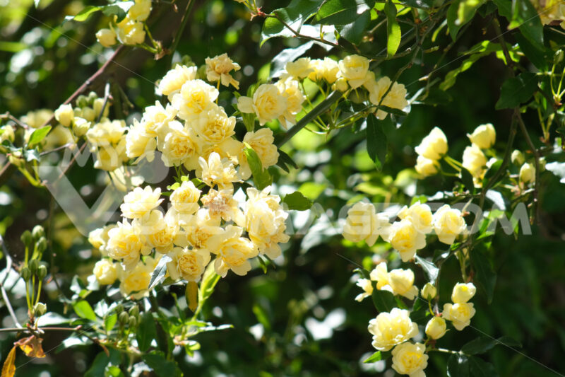 Yellow flowers of rosa banksiae move in the wind. Small beautiful pink flowers. - MyVideoimage.com