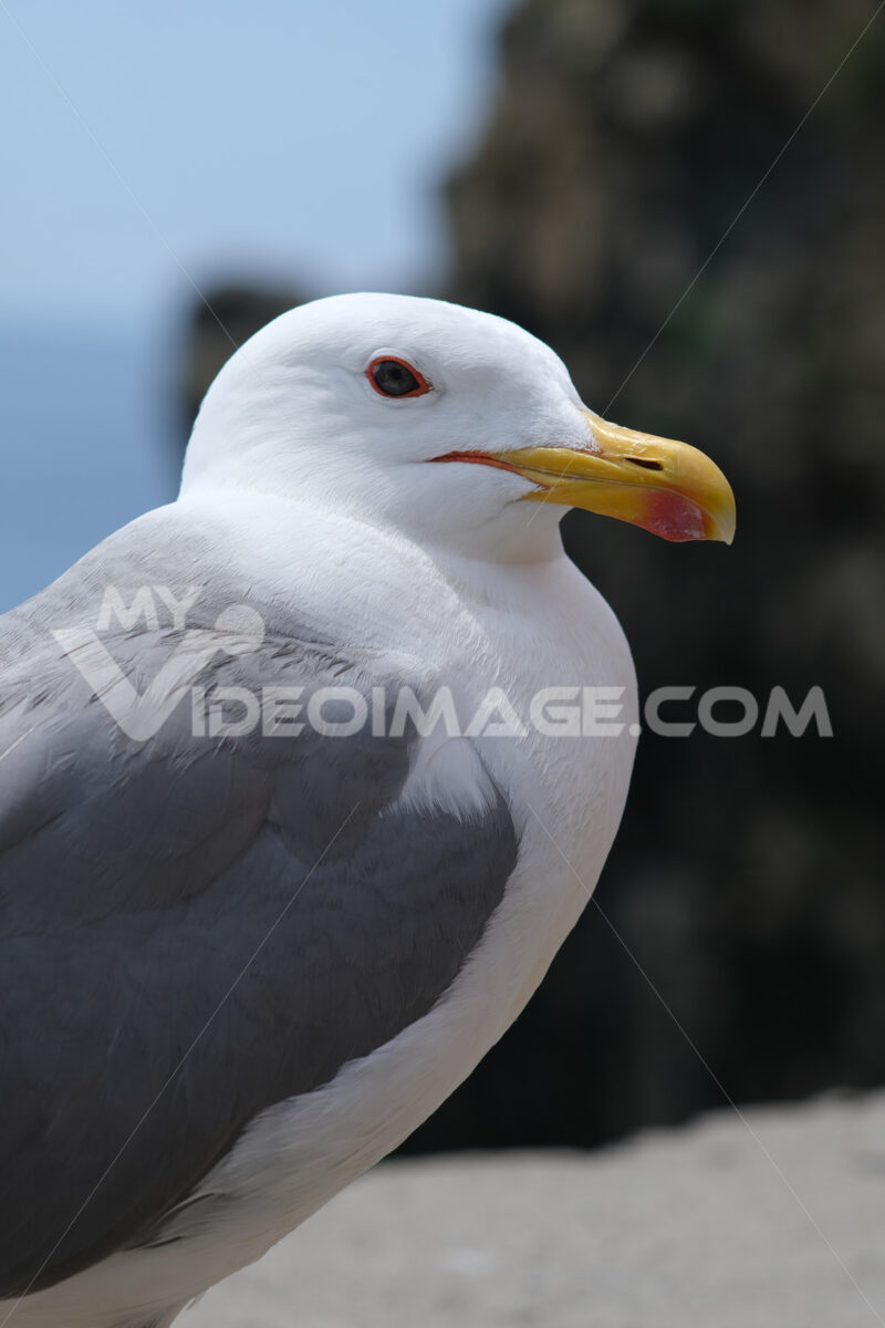 Young seagull photographed in the town of Riomaggiore in the Cinque Terre. Background with typical  houses. - LEphotoart.com
