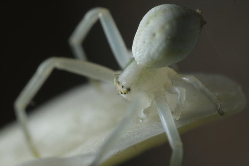 Zampe di ragno. White spider on the petals of a flower. Foto stock royalty free. - MyVideoimage.com | Foto stock & Video footage