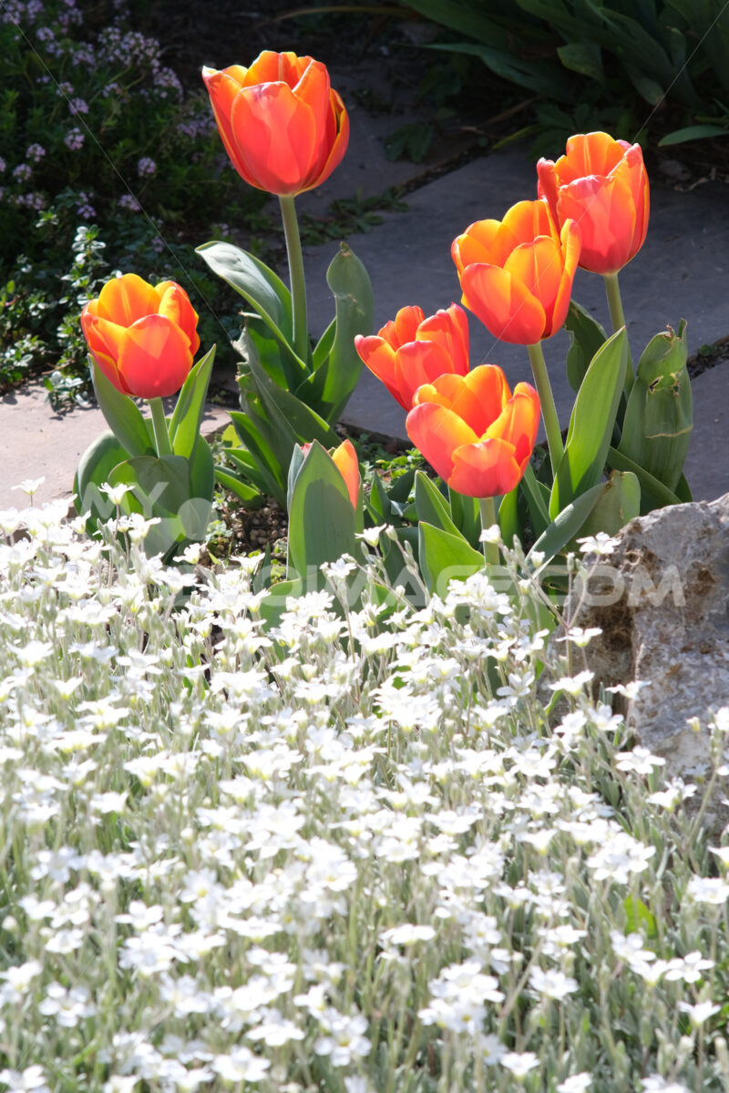 flowering in the Mediterranean garden. Orange tulips and cerastium flowers. Foto di fiori - LEphotoart.com