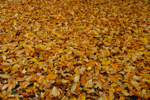 ìCarpet of orange colored leaves fallen to the ground in autumn. - MyVideoimage.com